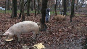 Crystal Feeding the pigs