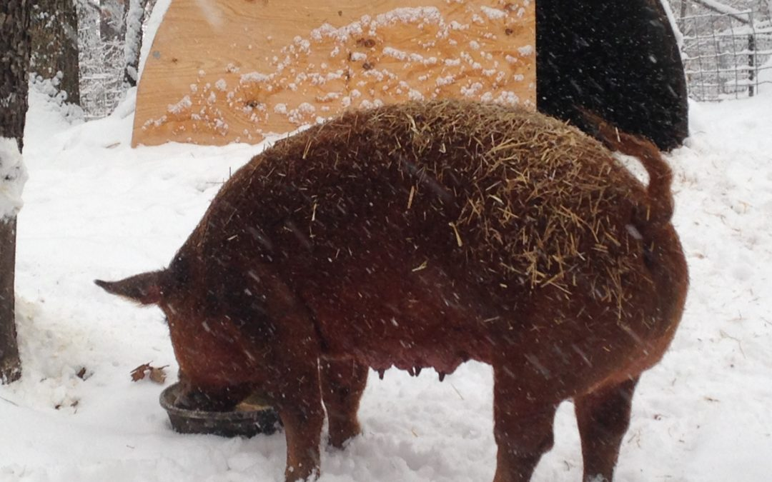 How Do the Pigs Do in Cold Weather?