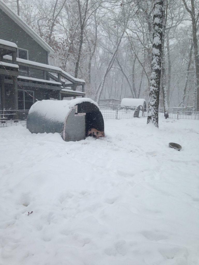 pig in snow