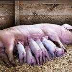 suckling piglets photo
